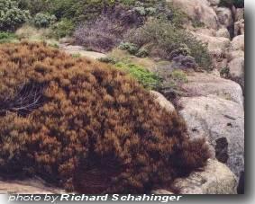 Allocasuarina crassa Cape Pillar Sheoak 10 seeds
